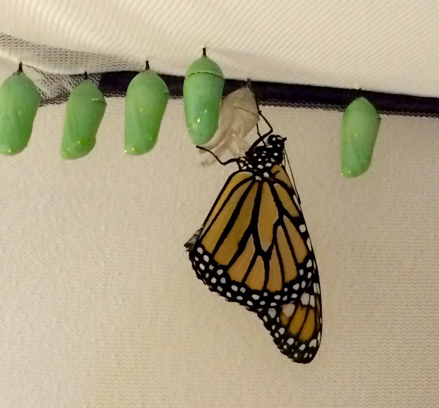 Monarch Butterfly newly enclosed, after transformation from caterpillar to chrysalis to winged creature. Photo by Jenny Leigh Hodgins