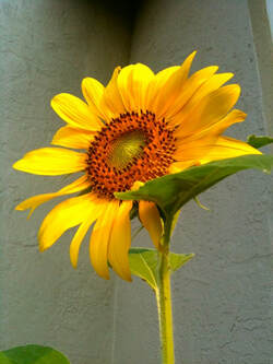 yellow sunflower facing the sun, hopeful, believing in the positive, yourcreativechord.com, Jenny Leigh hodgins