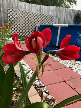 amaryllis, how to use self-care to feel happy, self-care, saltwater swimming pool, garden, garden view, tropical garden, de-stress, relax, summer fun, Garden Pool Oasis; Amaryllis and Milkweed