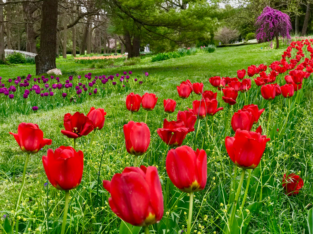 Photo of red and purple tulips and lavender weeping cherry tree by Jenny Leigh Hodgins