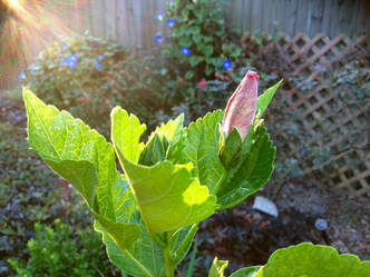 hibiscus bloom in morning light, Photo by Jenny Leigh Hodgins